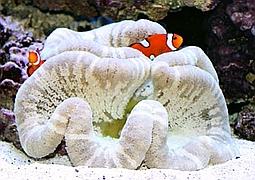 Актиния ковровая белая (Stichodactyla Haddoni sp., White Carpet Anemone)