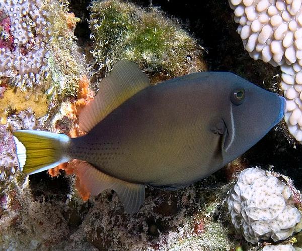 Спинорог суффламен белохвостый (Sufflamen albicaudatum)